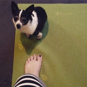 67 days until @ironmantri Canada. Good thing I have this little bean to help me with yoga #IMCanada #IMTraining #daisythechihuahua