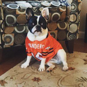 Go Broncos!!! humphrythefrenchie frenchbulldog frenchie gobroncos beon9