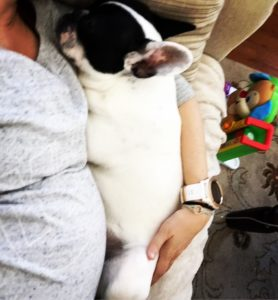 Bumps and Bulldogs Humphrythefrenchie frenchbulldog 30weekspregnant 54of365